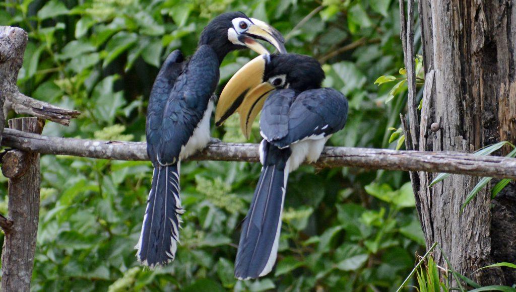 卑尔骚犀鸟吉米和朱丽叶  Piasau Nature Reserve Hornbill Jimmy And Juliet
